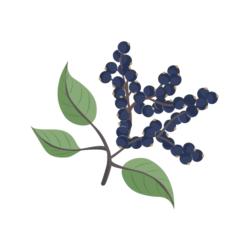 immune supporting elderberry illustration