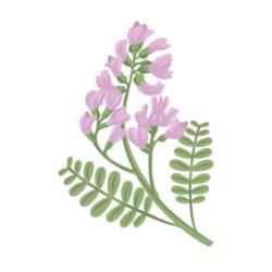astragalus root illustration