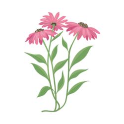 Immune Support_echinacea illustration